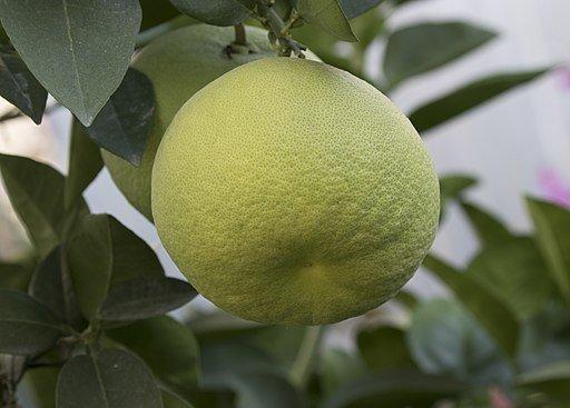 Pomelo Oro Blanco |  Sweetie Fruit (cómo comer)